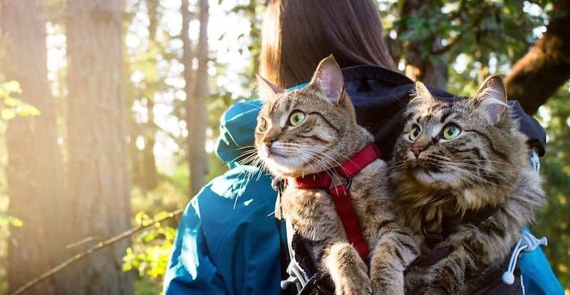 Cat Camping: How To Stage Outdoor Camping With Feline Pets