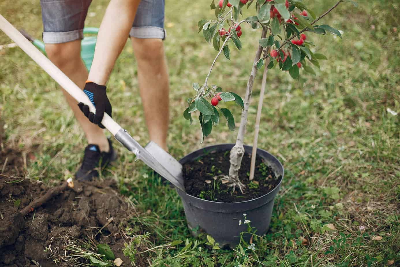 Planting a tree on a yard