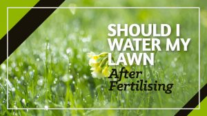 Should-I-water-my-Lawn-after-Fertilising